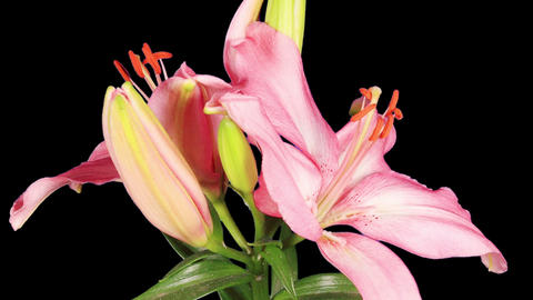 Blooming pink lily flower buds ALPHA matte (Lilium Samur), timelapse Footage