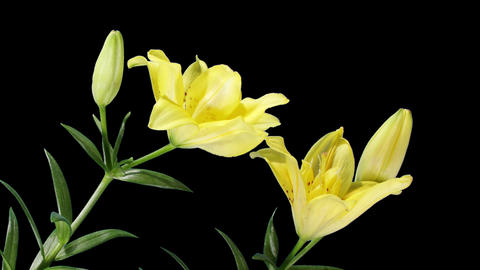Blooming yellow lily flower buds ALPHA matte (Lilium... Stock Video Footage