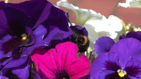 bumblebee pollinating on viola Footage