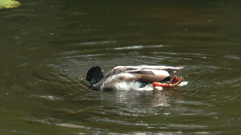 duck cleaning his plumage in a pond Stock Video Footage