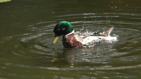duck cleaning his plumage in a pond Footage