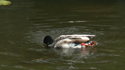 duck cleaning plumage slow motion Stock Video Footage