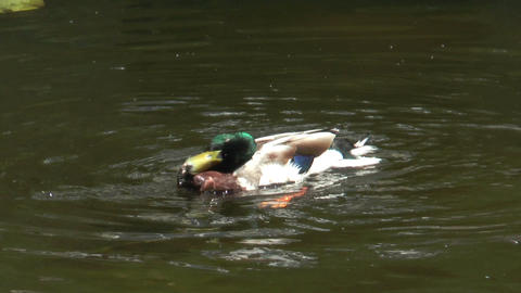 duck cleaning plumage slow motion Footage
