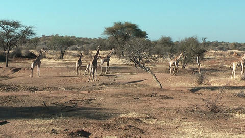 herd of giraffes in namibia Stock Video Footage