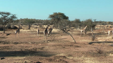 herd of giraffes in namibia Footage
