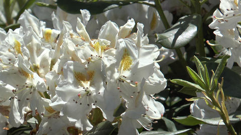 white rhododendron closeup Stock Video Footage