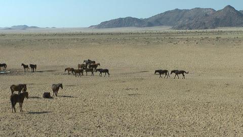 wild horses in african desert Footage