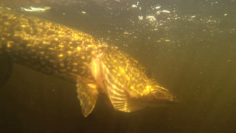 pikerelease a pike Stock Video Footage