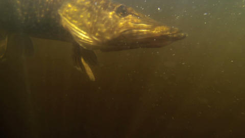 pikerelease a pike Footage