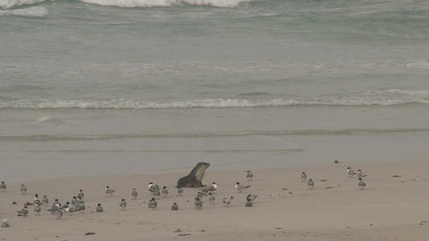 Sea lion walking at the beach Stock Video Footage
