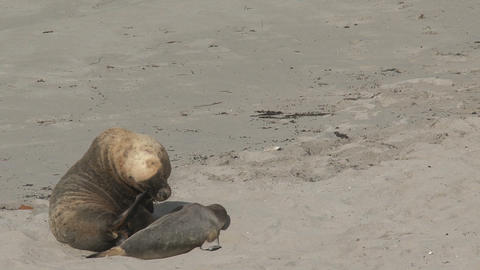 Sea lion itchy and yawning Stock Video Footage