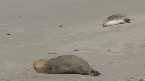 Big Sea lion waking up Stock Video Footage