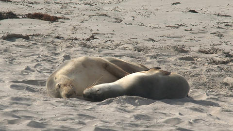 Two Sea lions sleeping Stock Video Footage