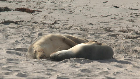 Two Sea lions sleeping Footage