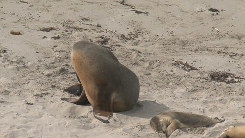 Sea lions at the beach with a itchy nose Footage
