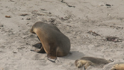Sea lions at the beach with a itchy nose Stock Video Footage