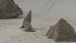 Sea lion walking on the beach Footage
