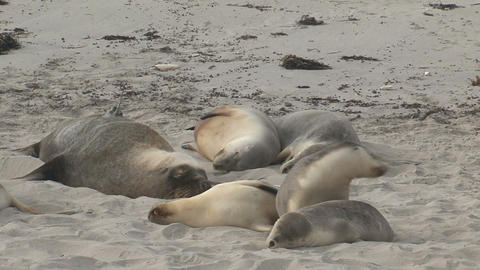 Sea lions sleeping on top each other Stock Video Footage