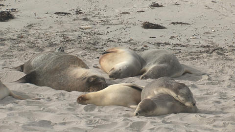 Sea lions sleeping on top each other Footage
