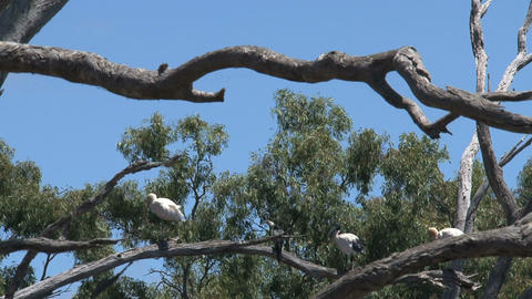 Spoonbills in a tree Footage