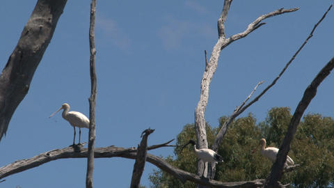 Spoonbills in a tree Stock Video Footage