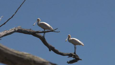 Two Spoonbills in a tree Stock Video Footage
