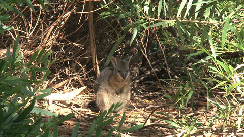 Wallaby in the forest cleaning his self Stock Video Footage