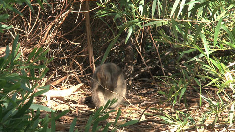 Wallaby in the forest cleaning his self Footage