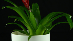 Red Bromelia plant Stock Video Footage
