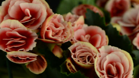 Pink begonia plant Stock Video Footage