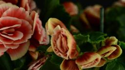 Pink begonia plant Footage