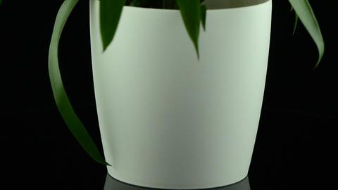 Yellow Bromelia plant Stock Video Footage
