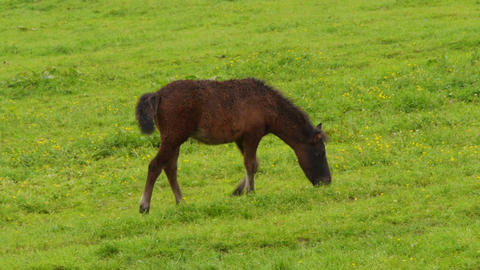 Brown foal on the meadow Footage
