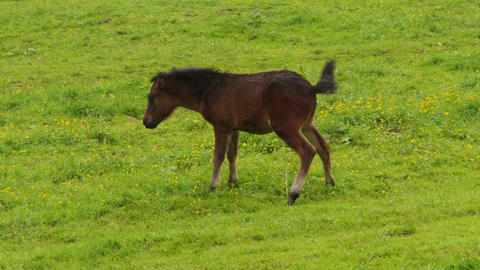 Brown foal pees on the meadow. Footage