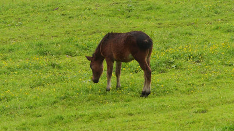 Brown foal pees on the meadow. Stock Video Footage