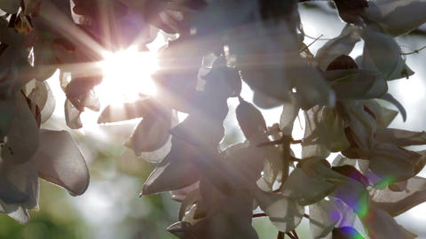 Acacia Flowers In The Sunshine Stock Video Footage