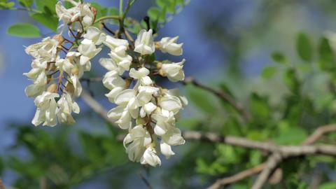 Acacia Footage