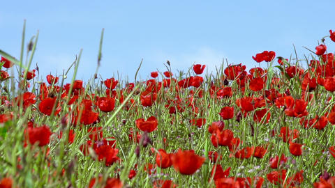 Poppy Field Stock Video Footage