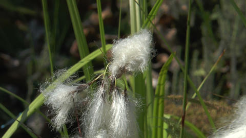 cottonsedge closeup Stock Video Footage