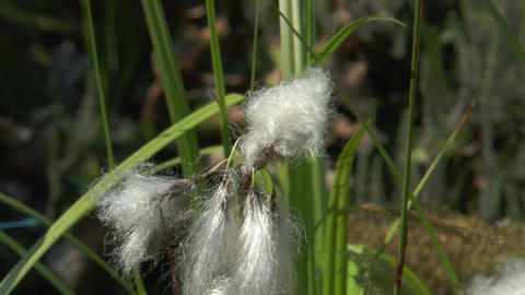 Cottonsedge Closeup stock footage