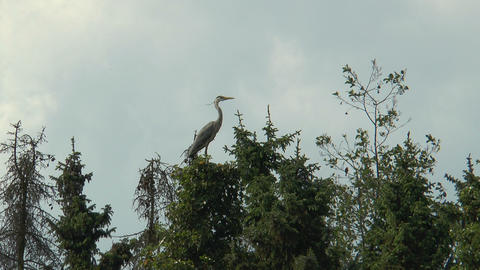 grey heron taking off from top of a tree Stock Video Footage