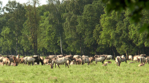 large herd of horses grazing Stock Video Footage
