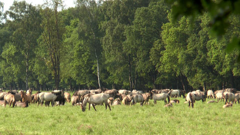 large herd of horses grazing Footage