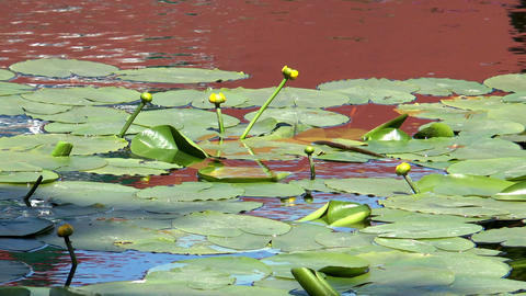 yellow water lilies (nuphar lutea) Stock Video Footage