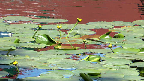 yellow water lilies (nuphar lutea) Footage
