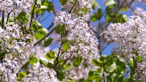 Lilac spring flowering 02 Stock Video Footage