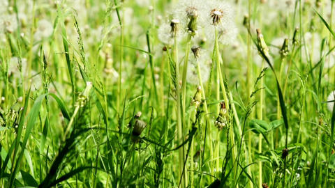 dandelions dolly shot Stock Video Footage