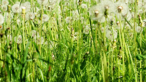 Dandelions Dolly Shot stock footage