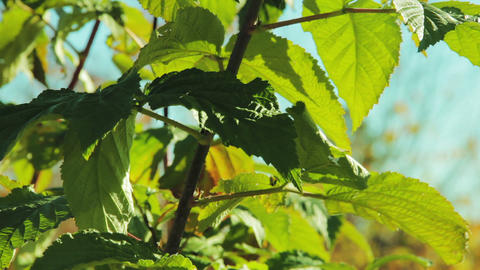 Raspberry leaves in autumn swaying wind Stock Video Footage
