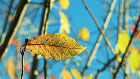 Cherry tree leaves in autumn swaying wind Stock Video Footage